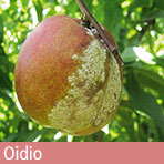 oidio pesco