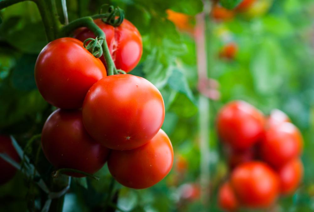 Biogard - Linea difesa dai fitofagi del Pomodoro da mensa
