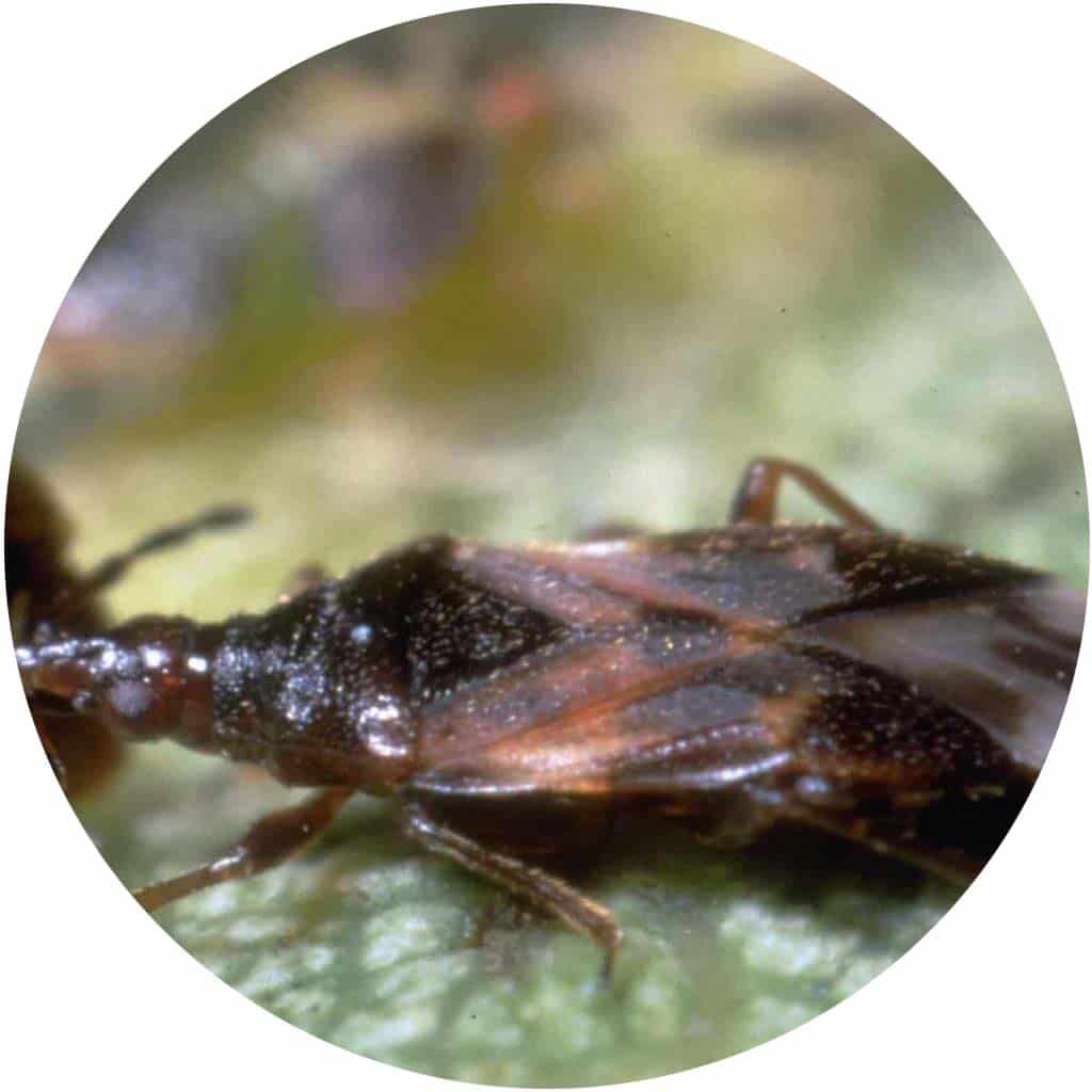 Biogard - Anthocoris nemoralis