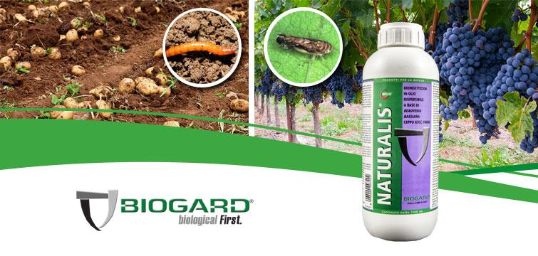 Biogard - NATURALIS®: anche per il 2020 autorizzazione per emergenza fitosanitaria contro eleteride su patata e scafoideo su vite.