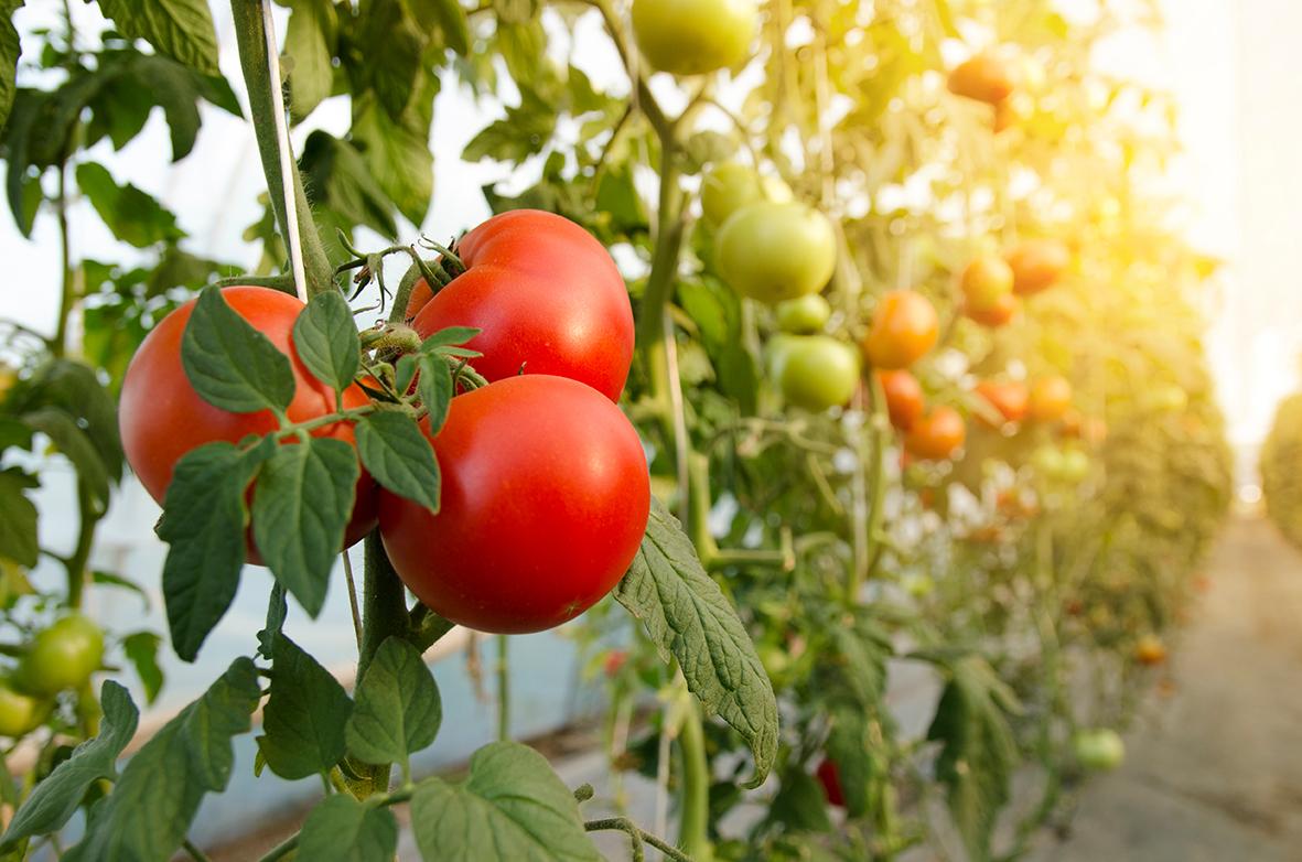 difesa pomodoro